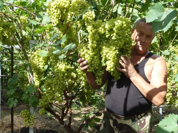 Отзывы по выращиванию винограда 94